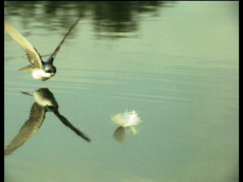 Tree swallow plucks feather for nest off of surface of pond, USA