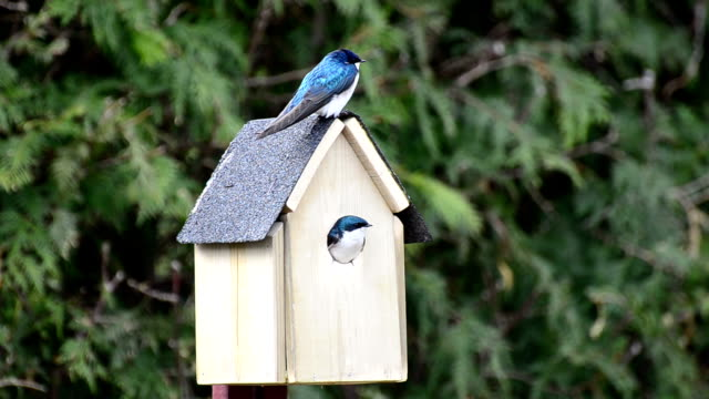 Tree Swallows Nest