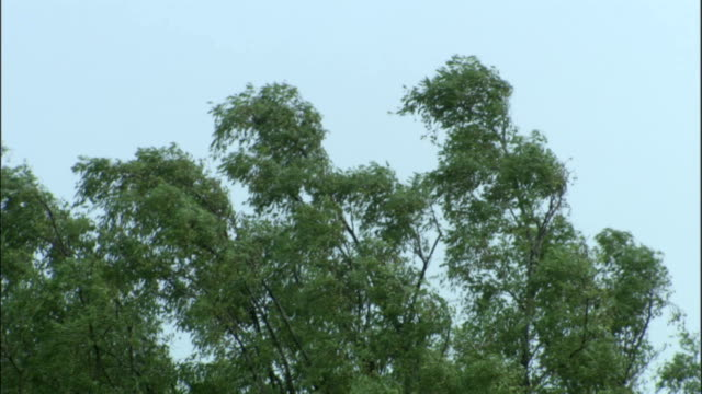 tree tops blow in wind available in hd. - foglia video stock e b–roll