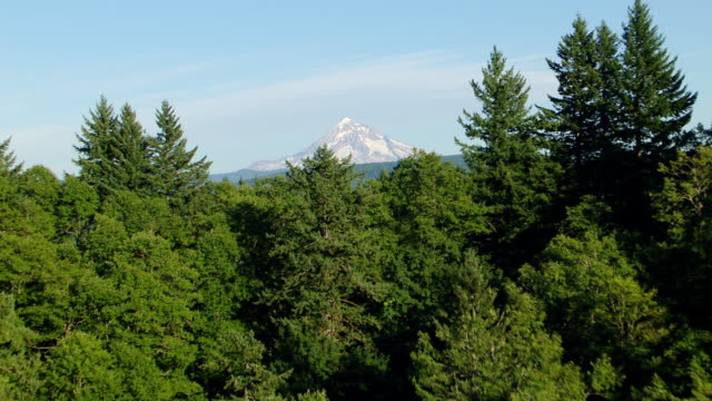 MS AERIAL Tree tops to reveal Mt Hood / Oregon, United States