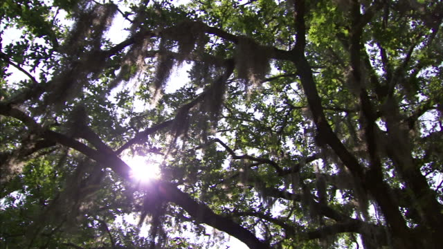 ws tree limbs w/ hanging spanish moss god rays shining through branches just above limb nice wind moving moss iconic southeast united states south... - spanish moss stock videos & royalty-free footage