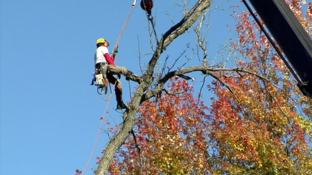 ws la tree trimmer descending tree, ann arbor, michigan, usa - imbracatura di sicurezza video stock e b–roll