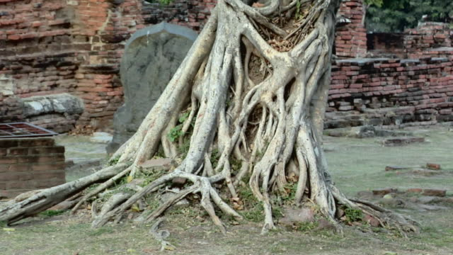 ms zo tree trunk at temple ruins of wat phra si sanphet / ayutthaya, thailand - アユタヤ県点の映像素材/bロール