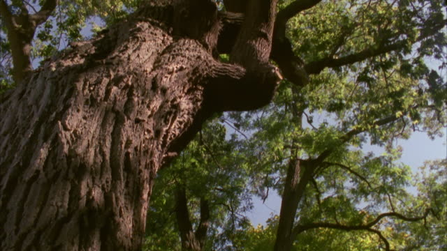 vídeos de stock, filmes e b-roll de ms tu tree trunk in forest/ hortonville, wisconsin - casca de árvore