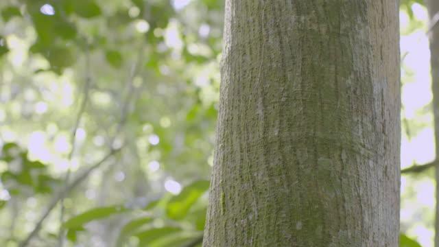 vídeos de stock, filmes e b-roll de cu tu tree trunk in rainforest / panama city, panama - tronco de árvore