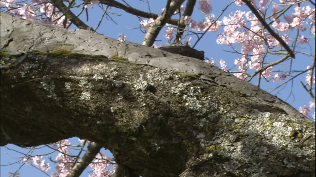 tree trunk of cherry blossoms of shozu with advanced signs of withering. - takashima shiga stock videos & royalty-free footage