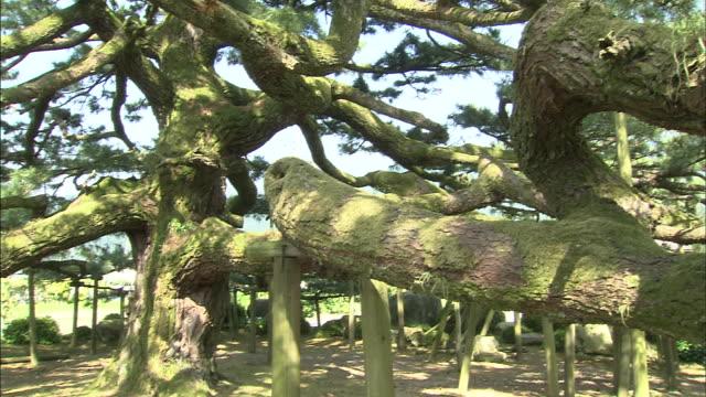 tree trunk   pan right   medium shot - 松の木点の映像素材/bロール