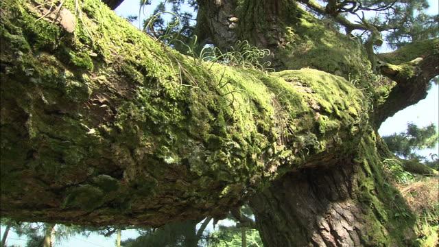 vídeos de stock e filmes b-roll de tree trunk   tilt up   medium shot - pinheiro