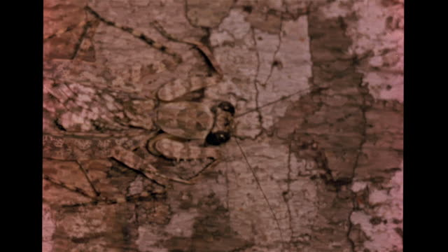 tree trunk w/ various shades of brown bark w/ african praying mantis blending in with wood, hiding mantis. mimic, adapt, coloration, defense,... - anpassen stock-videos und b-roll-filmmaterial