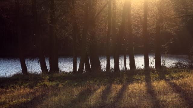 Tree trunks, backlight.