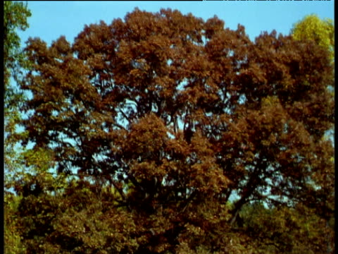 vidéos et rushes de tree turns from green to red to bare during transition from summer to autumn to winter. - bare tree