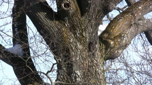 vídeos de stock, filmes e b-roll de hd: árvore - faia árvore de folha caduca