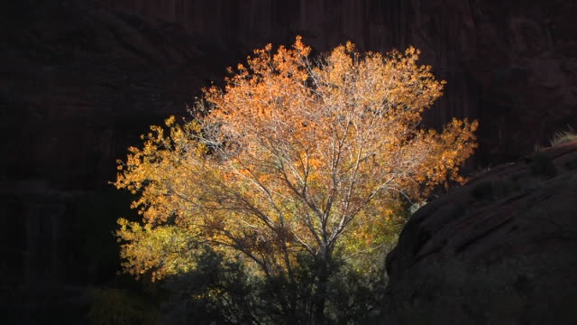 ms tree with autumn leaves/ canyon de chelly national monument, arizona - canyon de chelly stock videos & royalty-free footage