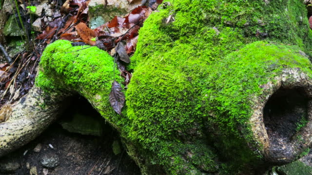 stockvideo's en b-roll-footage met tree with moss / hongcheon-gun, gangwon-do, south korea - boomstronk