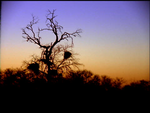 stockvideo's en b-roll-footage met tree with nests in branches silhouetted in sunset, botswana - plant attribute
