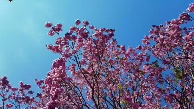 tree with pink flowers, blue sky and wind. - azul stock videos & royalty-free footage