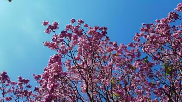baum mit rosa blüten, blauem himmel und wind. - azul stock-videos und b-roll-filmmaterial