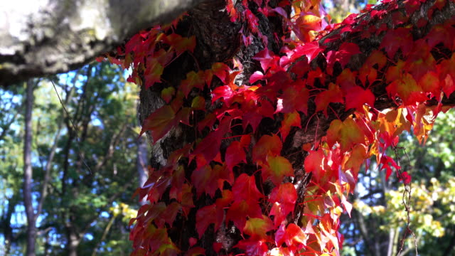 tree with virginia creeper plant in autumn - creeper stock videos and b-roll footage