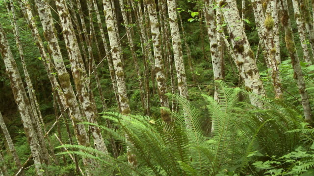 trees and ferns - alder tree stock videos & royalty-free footage