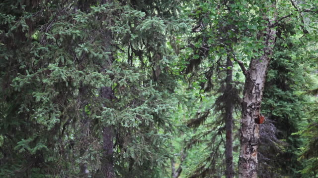 trees, chugach national forest; alaska - chugach national forest stock videos & royalty-free footage