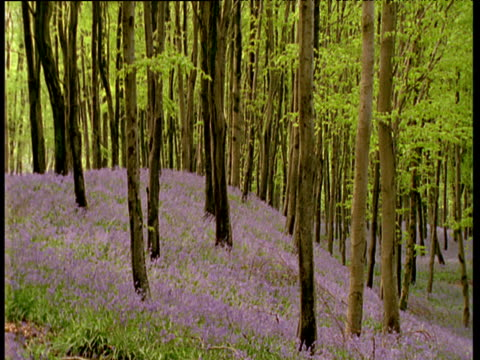 Trees covered in spring leaves shoot through bluebells covering woodland slope, UK
