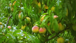 Trees full of ready to pluck, juicy peaches in orchard.
