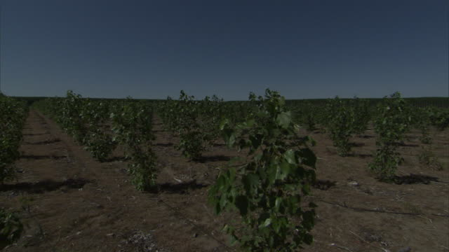 trees grow in ordered rows. - reforestation stock videos and b-roll footage