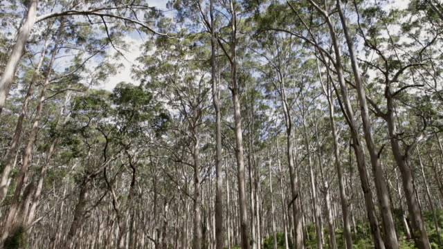 trees in a forest / margaret river, western australia, australia - low angle view stock videos & royalty-free footage