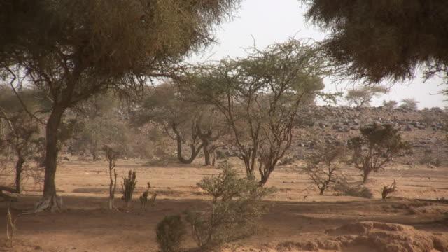 ws trees in desert / ouadane, adrar, mauritania - モーリタニア点の映像素材/bロール