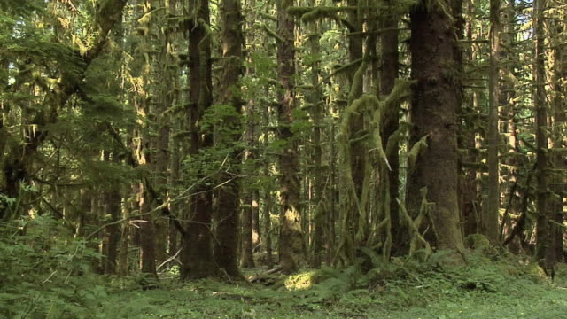 vídeos de stock, filmes e b-roll de ms, tu, trees in forest, olympic national park, washington, usa - olympic national park