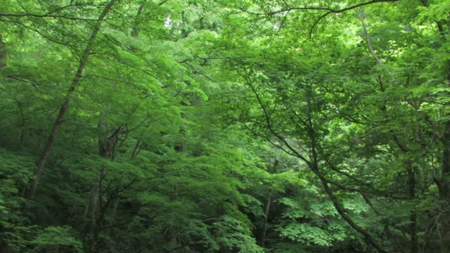 tu trees in forest - fukuoka prefecture stock videos & royalty-free footage