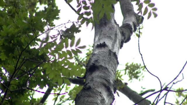 trees in gloucestershire marked for felling due to ash dieback - tree trunk stock videos & royalty-free footage