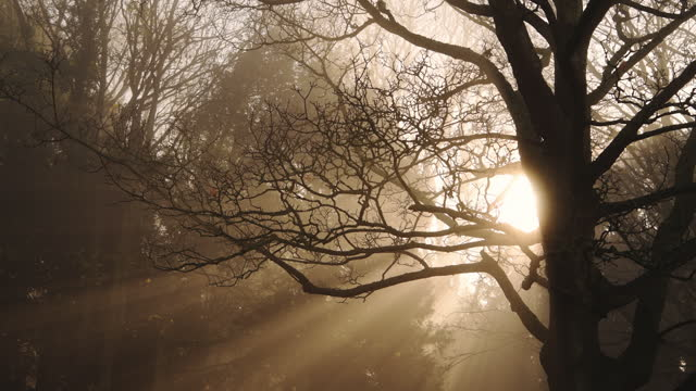 trees in misty foggy weather conditions in the woods, mist and fog in forest with bright orange sunbeams at sunrise as sun and sunlight shines through bare branches, shining on the woodlands - bare tree stock videos & royalty-free footage