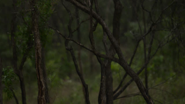 trees in rain, australia. - fade out video transition stock videos & royalty-free footage
