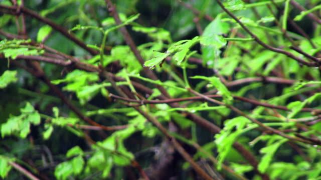 vidéos et rushes de arbres à pluie - commencement