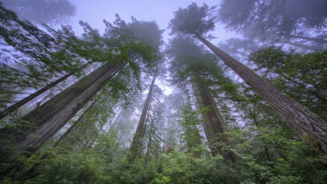 trees in redwood forest, redwood national part, ca - grove stock videos & royalty-free footage