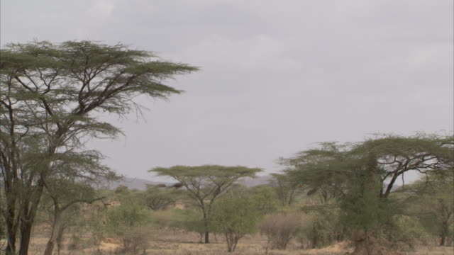 trees in the dry grasslands of ethiopia. available in hd - ethiopia stock videos and b-roll footage