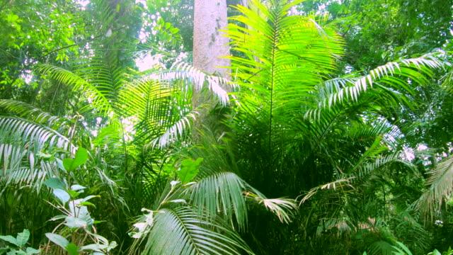 vidéos et rushes de arbres dans la forêt tropicale. - séquoia géant