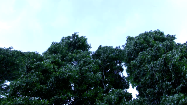 trees in the wind - cottonwood tree stock videos and b-roll footage