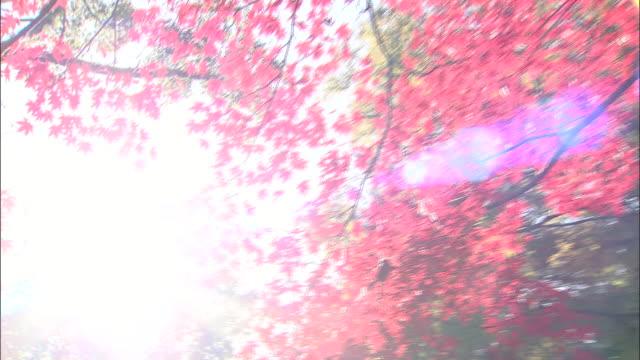 vídeos de stock, filmes e b-roll de trees near the kozan-ji temple display a profusion of red leaves. - parélio