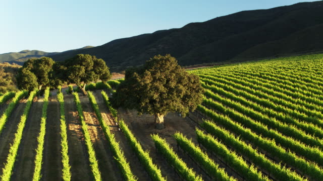 trees nestled amid lush grape vines in santa lucia highlands, california - drone shot - monterey county stock videos and b-roll footage