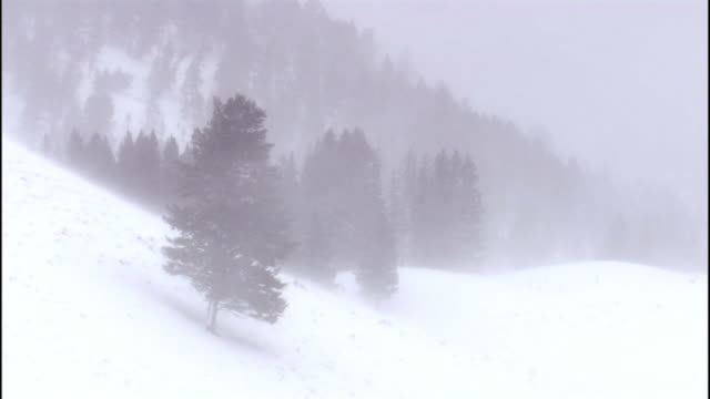 stockvideo's en b-roll-footage met trees on hillside during snow storm, yellowstone, usa - sneeuwstorm