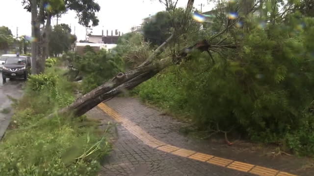 trees pulled out by typhoon, okinawa, japan - typhoon stock videos and b-roll footage