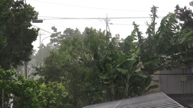vidéos et rushes de trees sway wildly in strong wind as typhoon maria nears miyakojima japan in july 2018 - bananier