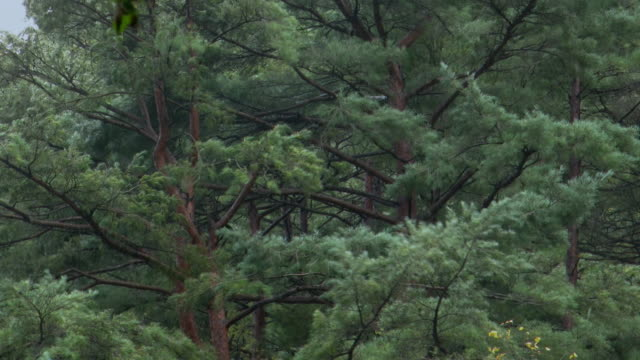 vídeos y material grabado en eventos de stock de trees swaying in rainstorm, uljin geumgang pine forest / uljin-gun, gyeongsangbuk-do, south korea - wind
