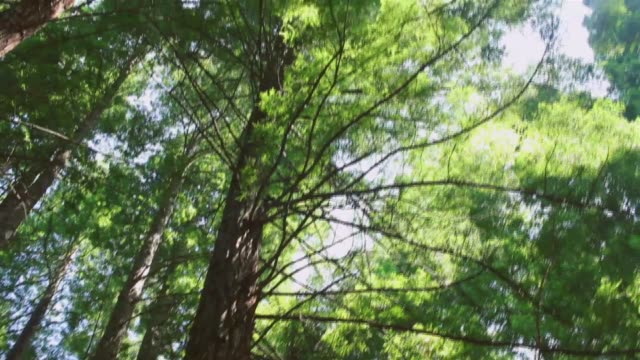 Trees to the sky. Look from the trunk to the branches where the sun is strained.