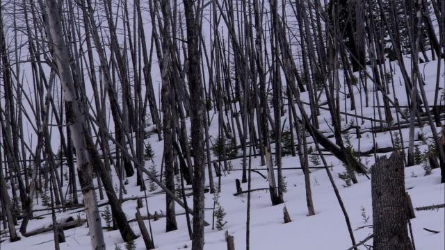 trees, tree carcasses, and stumps cover a snowy hillside. - paletto da cricket video stock e b–roll