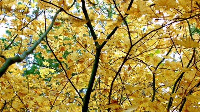 trees up close columbia river gorge oregon fall yellow leaves vine maple 76 - columbia river gorge stock videos & royalty-free footage