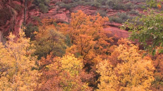 MS ZI Trees with autumn leaves against canyon wall/ Canyon de Chelly National Monument, Arizona