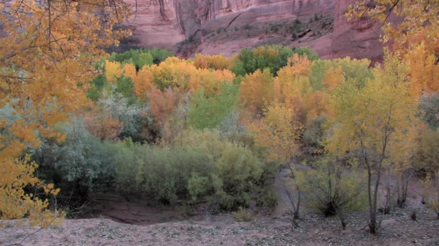 HA MS Trees with autumn leaves at bottom of canyon/ Canyon de Chelly National Monument, Arizona